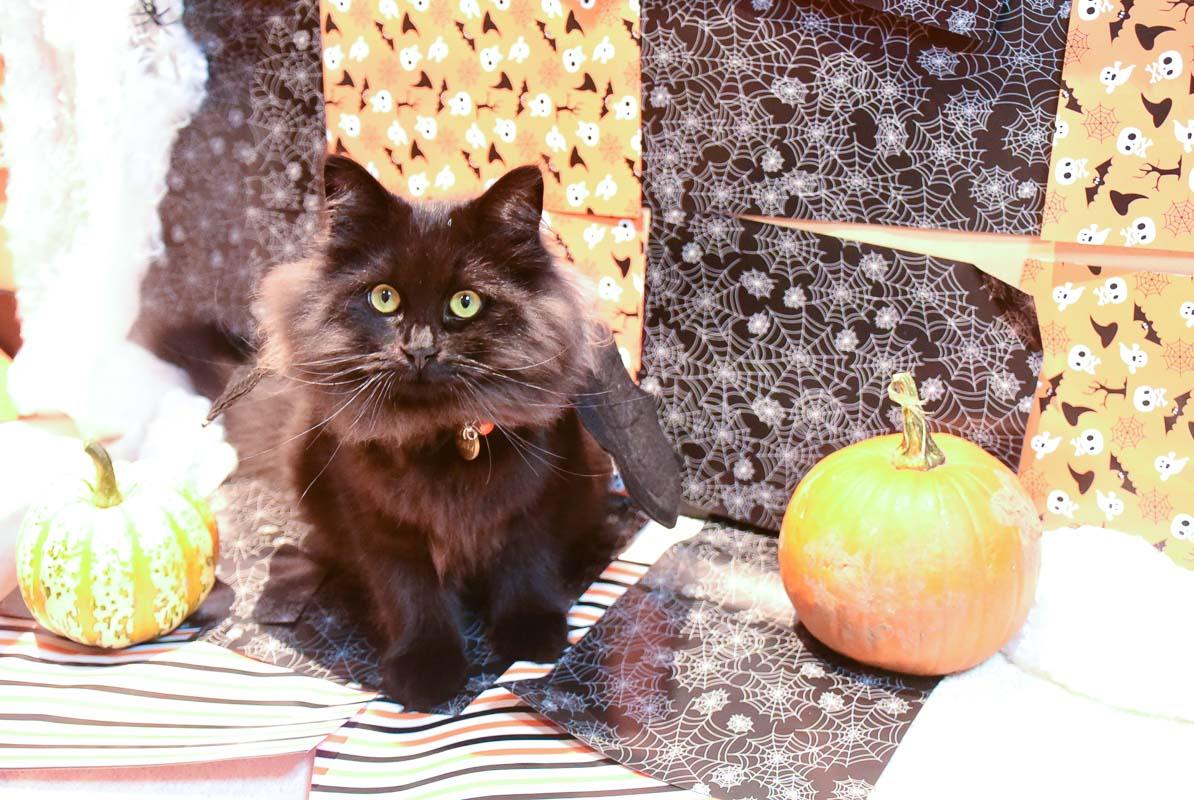 black cat wearing black bat wings with pumpkins