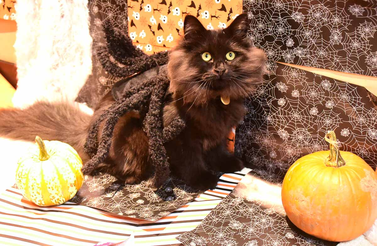 black cat wearing spider costume with pumpkins