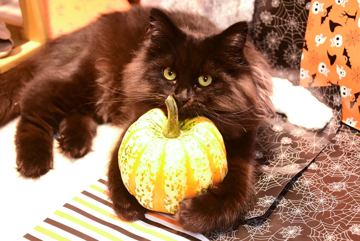black cat cuddling a pumpkin