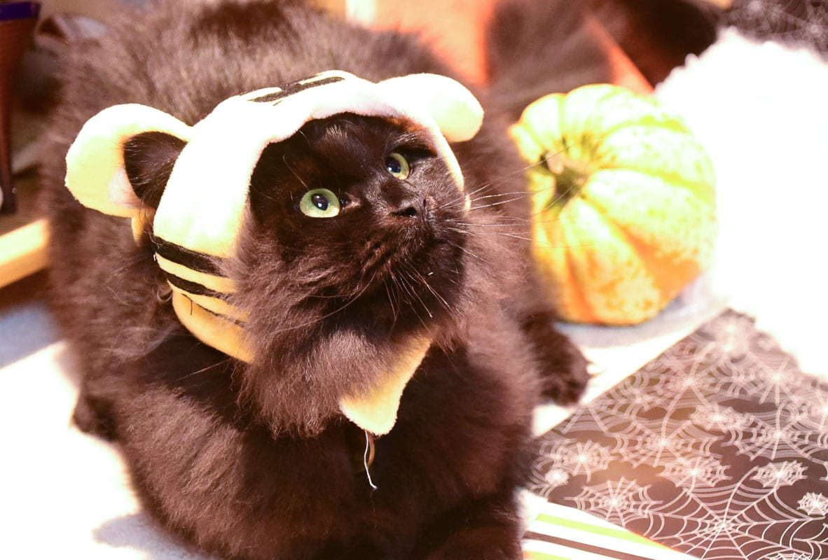 black cat wearing a bumblebee hat