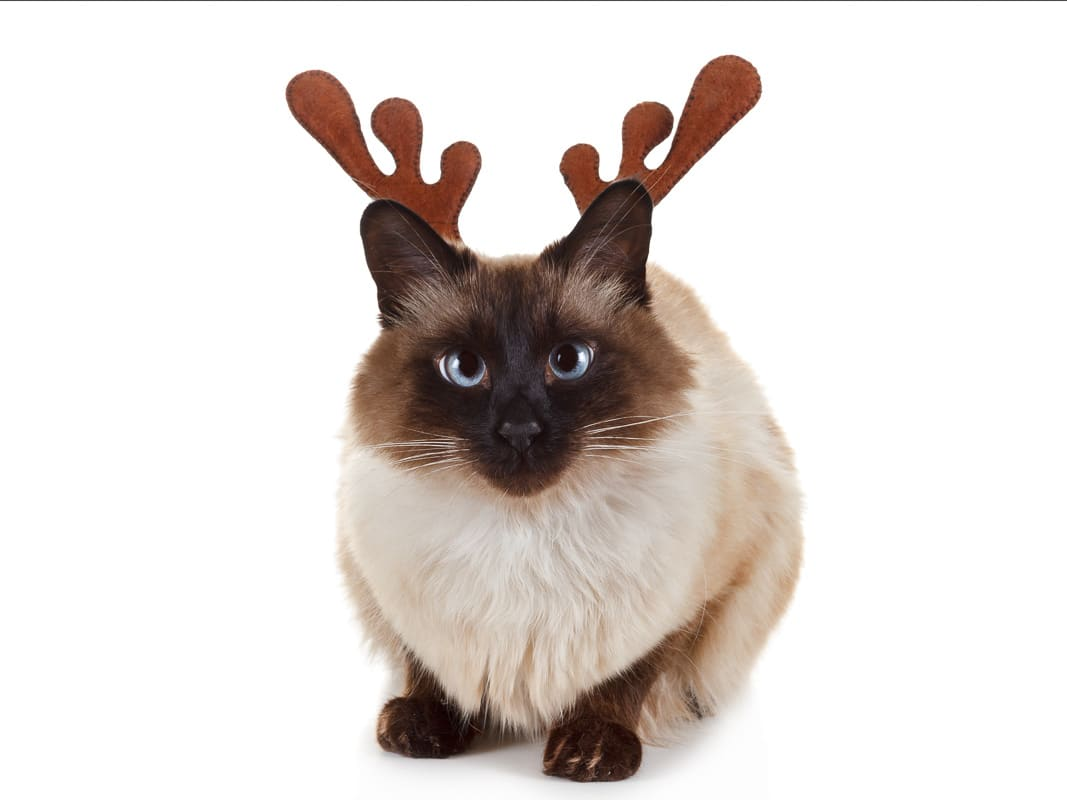 Funny Christmas Rudolph reindeer pet cat