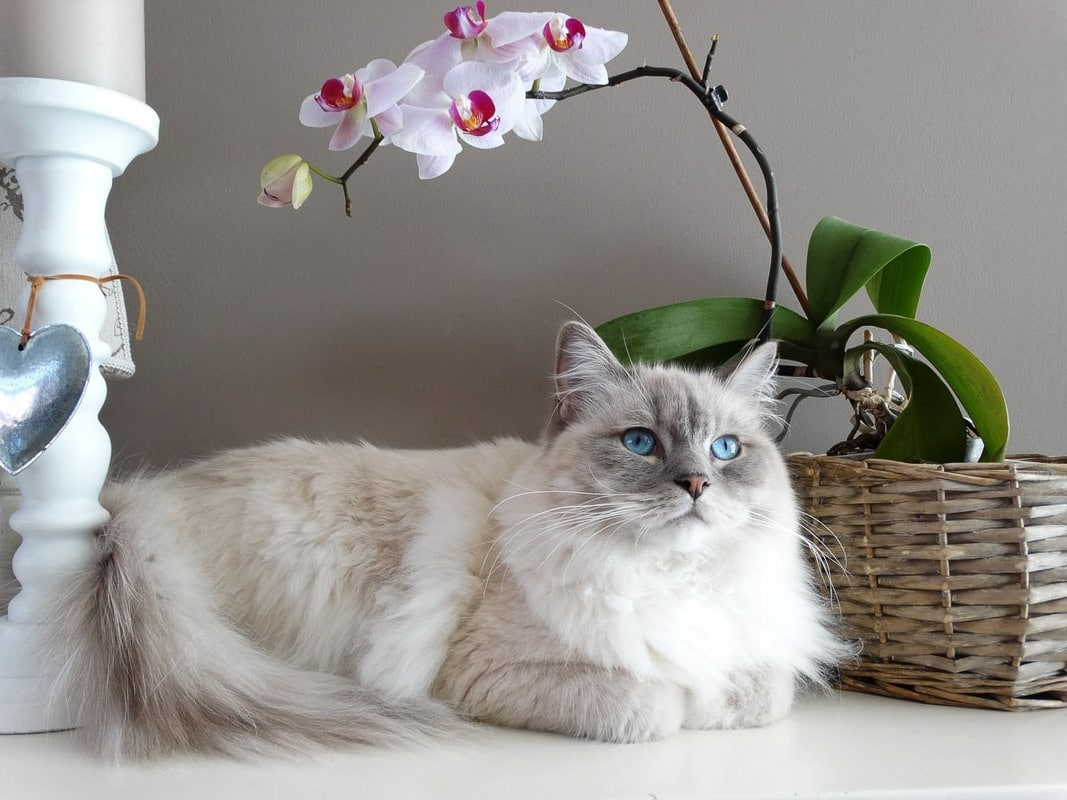 white ragdoll cat with blue eyes on bench with basket and light