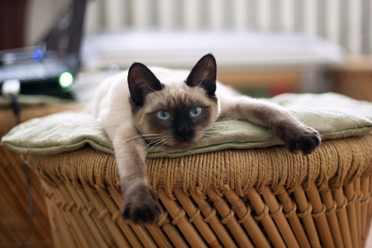 siamese cat stretched out on seat