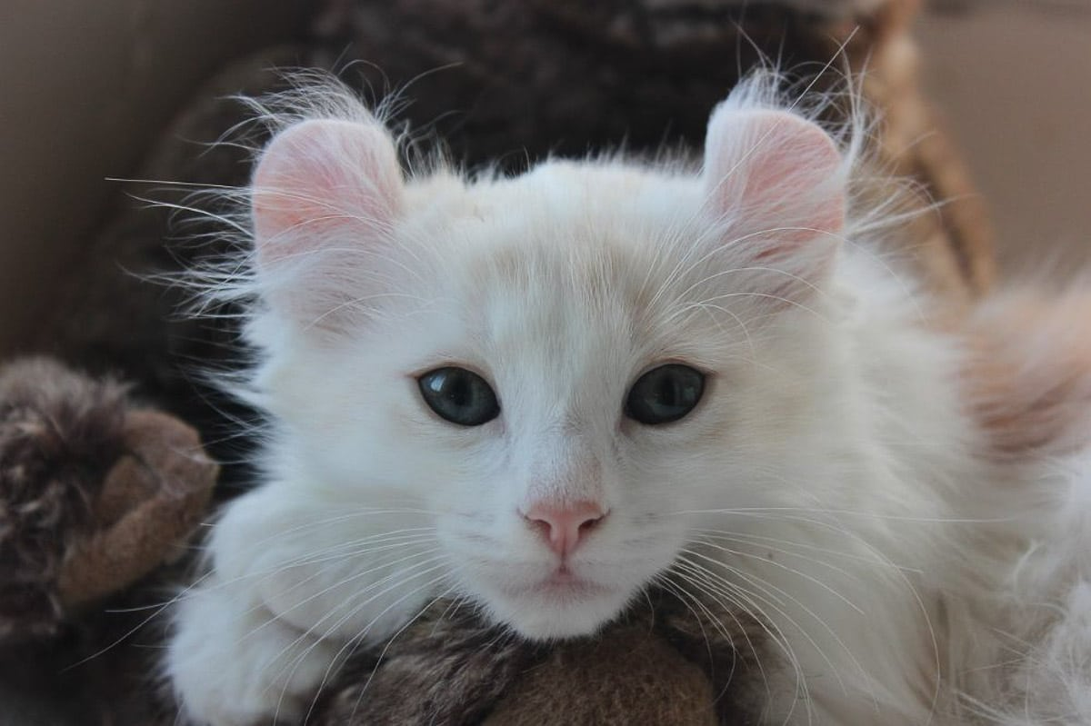 white american curl cat with dark eyes
