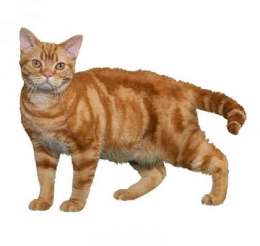 ginger american wire hair cat against white background