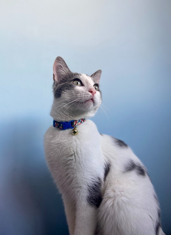 black and white cat with blue collar and bell