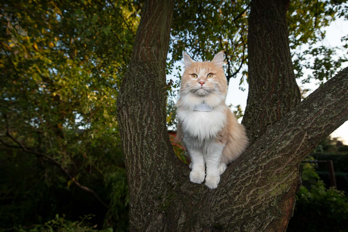 maine coon cat on a tree