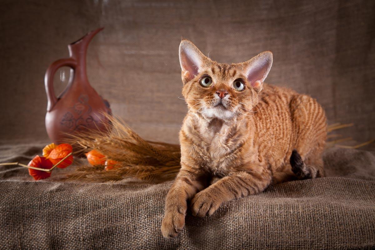 Devon Rex Cat on dark brown sheet background with jug and wheat