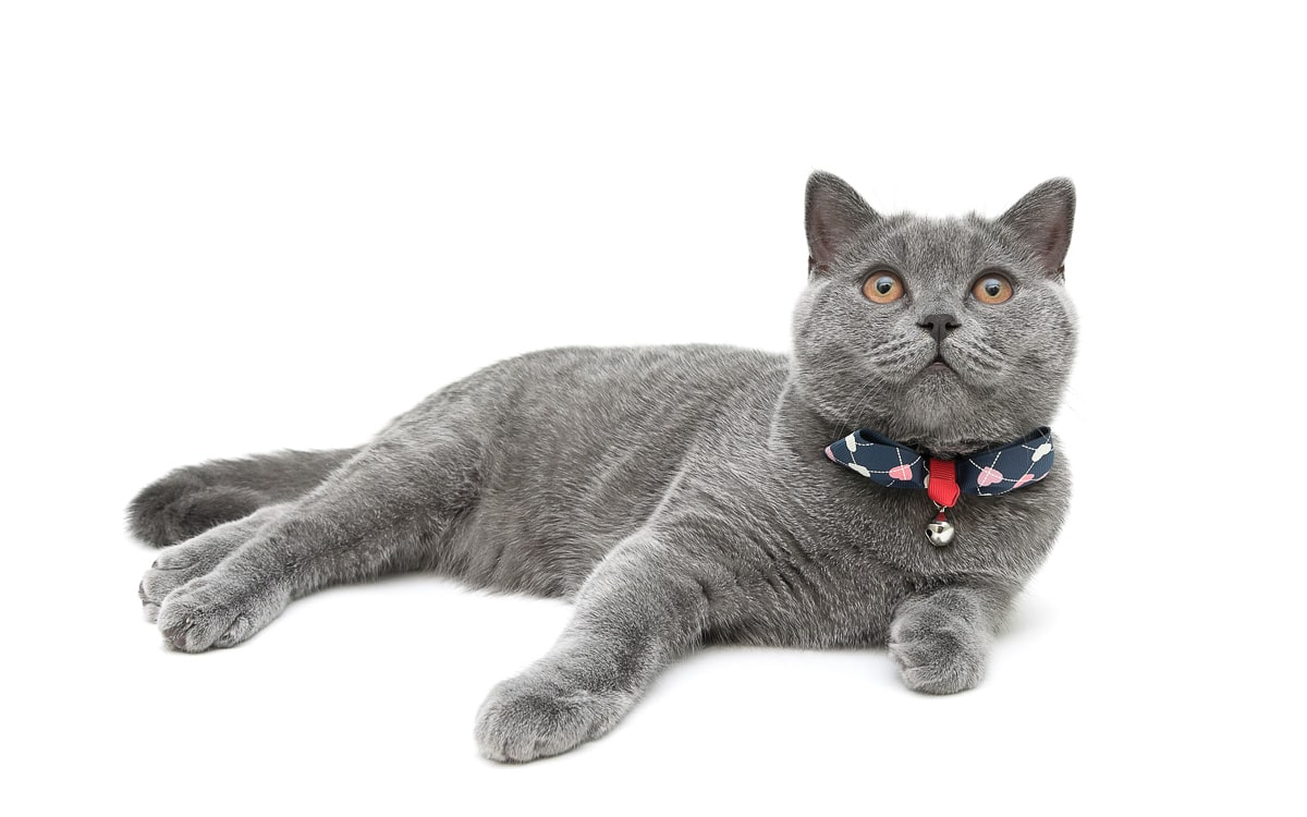 kitten wearing a collar with a bow on a white background