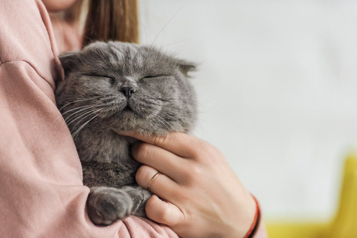 grey cut being cuddled under the chin by a human