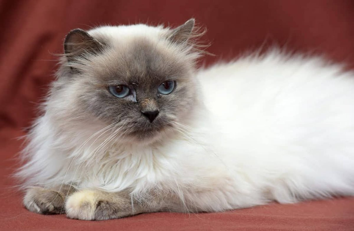 white fluffy Himalaya cat with darker face and blue eyes