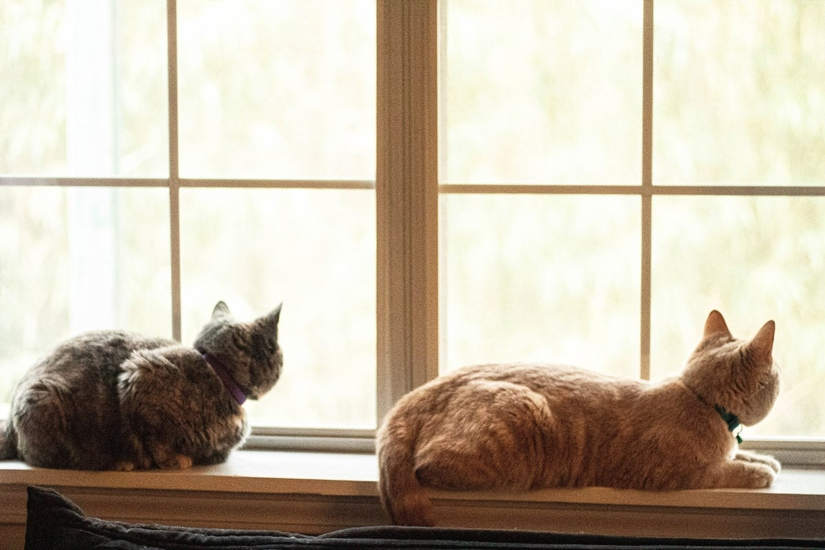 tabby and ginger cats from behind looking out a window whilst se