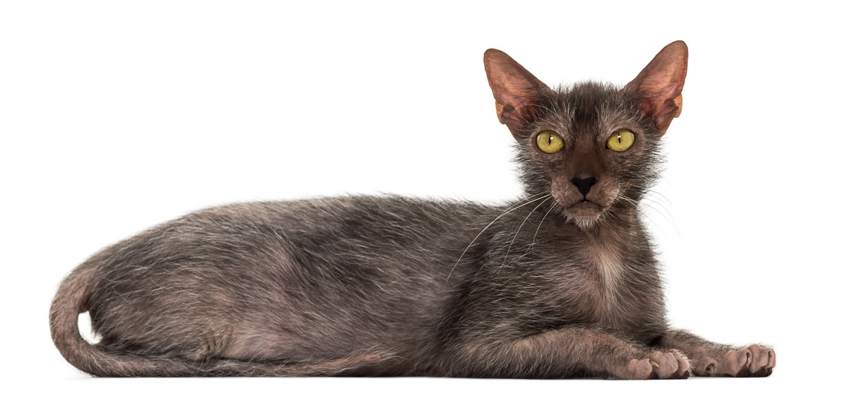 Lykoi cat, also called the Werewolf cat against white background - known as a weird cat breed