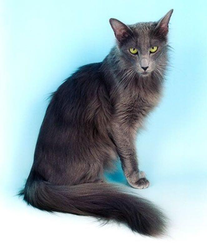 Black Oriental Long Hair Cat