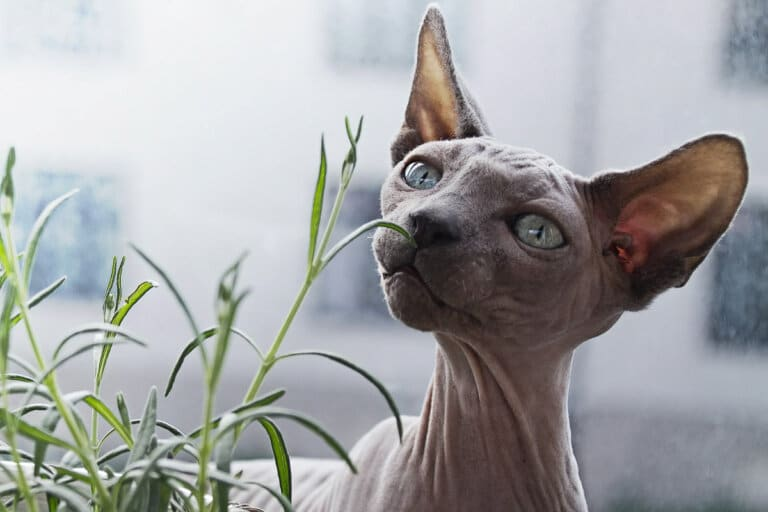Weird Cat Breeds: 7 Strange and Wonderful Felines plus more Kitty Breeds