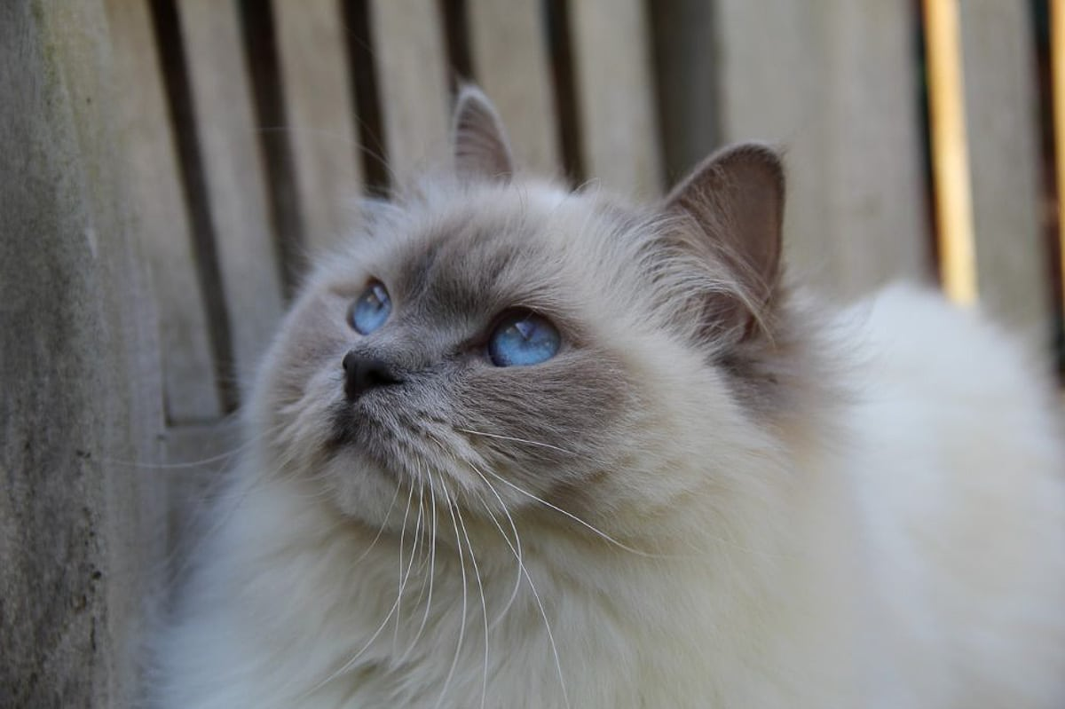 ragdoll cat with blue eyes against a timber background