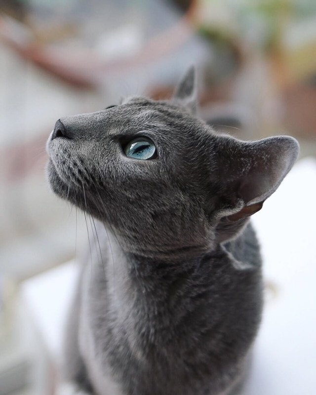 Russian blue cat portrait one of the cutest cat breeds