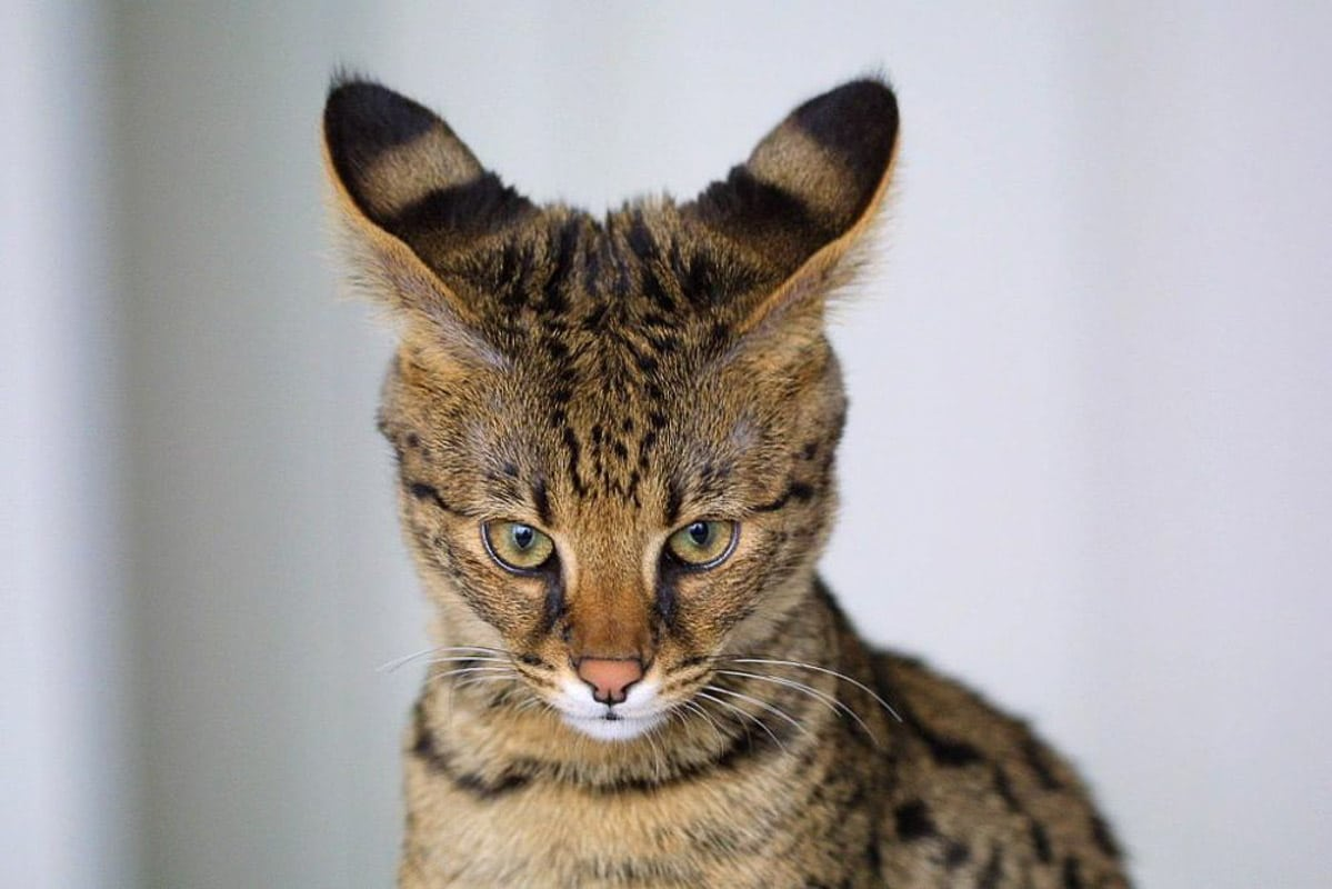 9 Cat Breeds that could Break the Bank