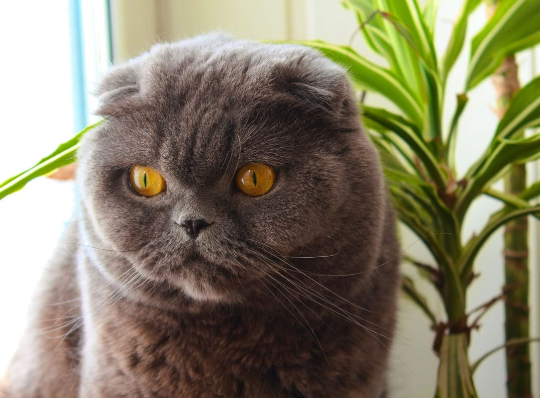 Grey scottish fold cat face up close
