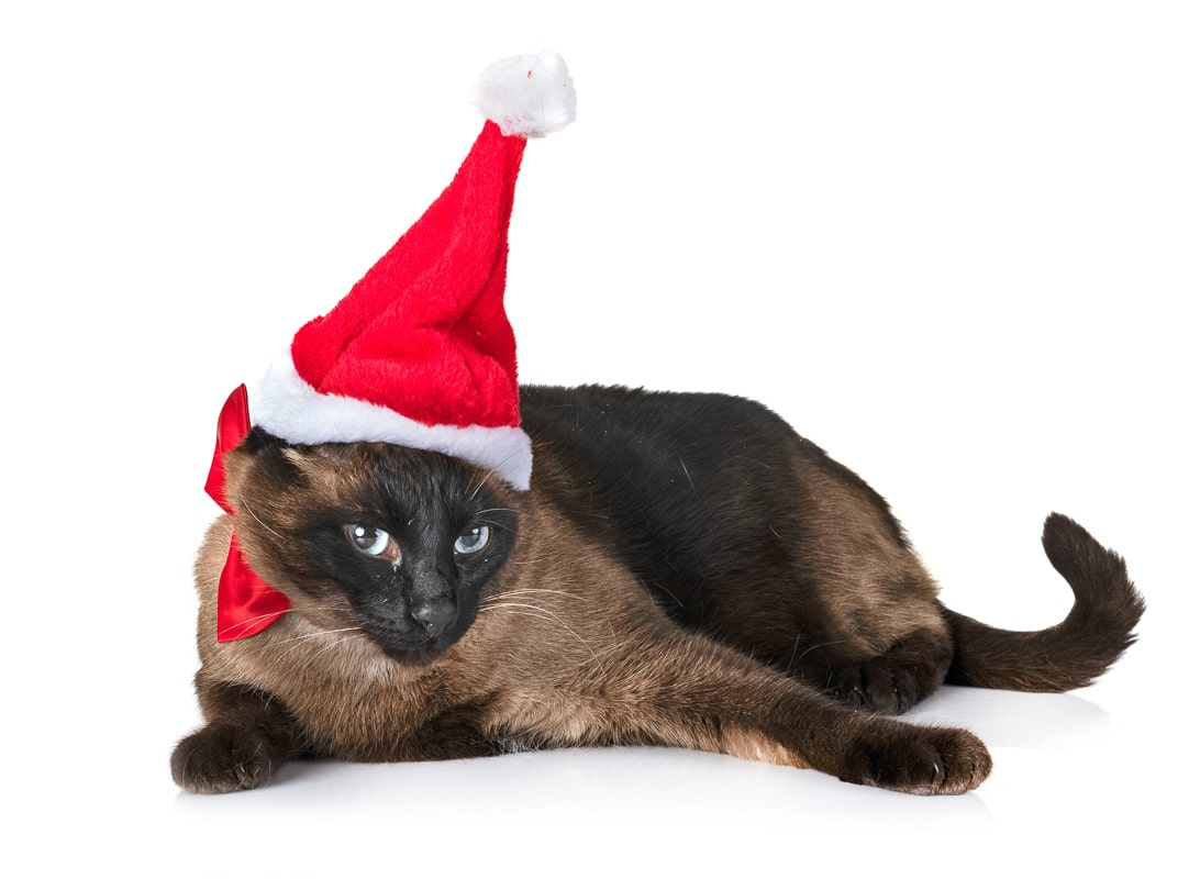 siamese cat in red santa hat