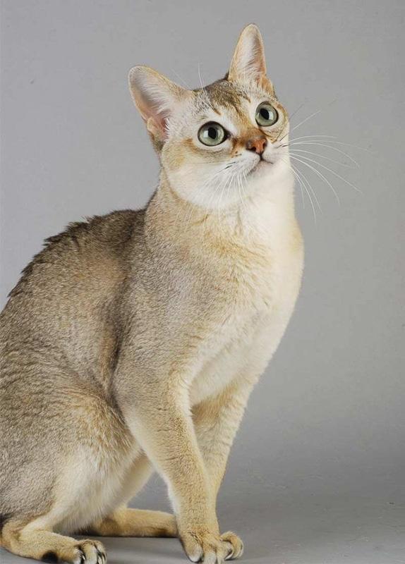 Pale Singapura Cat