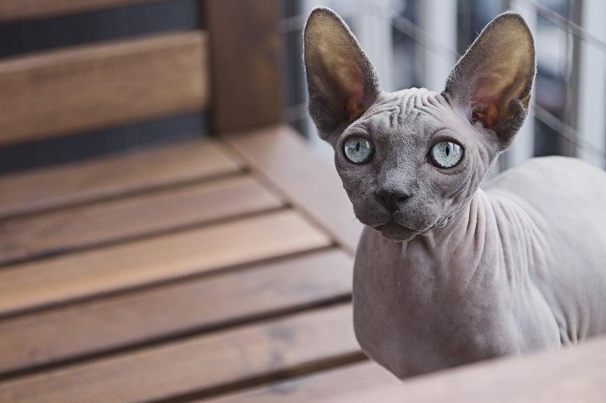 grey spynx cat on timber bench