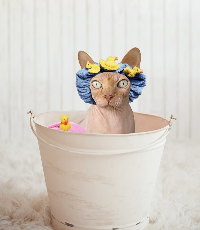 sphynx cat wearing bath cap in a bucket