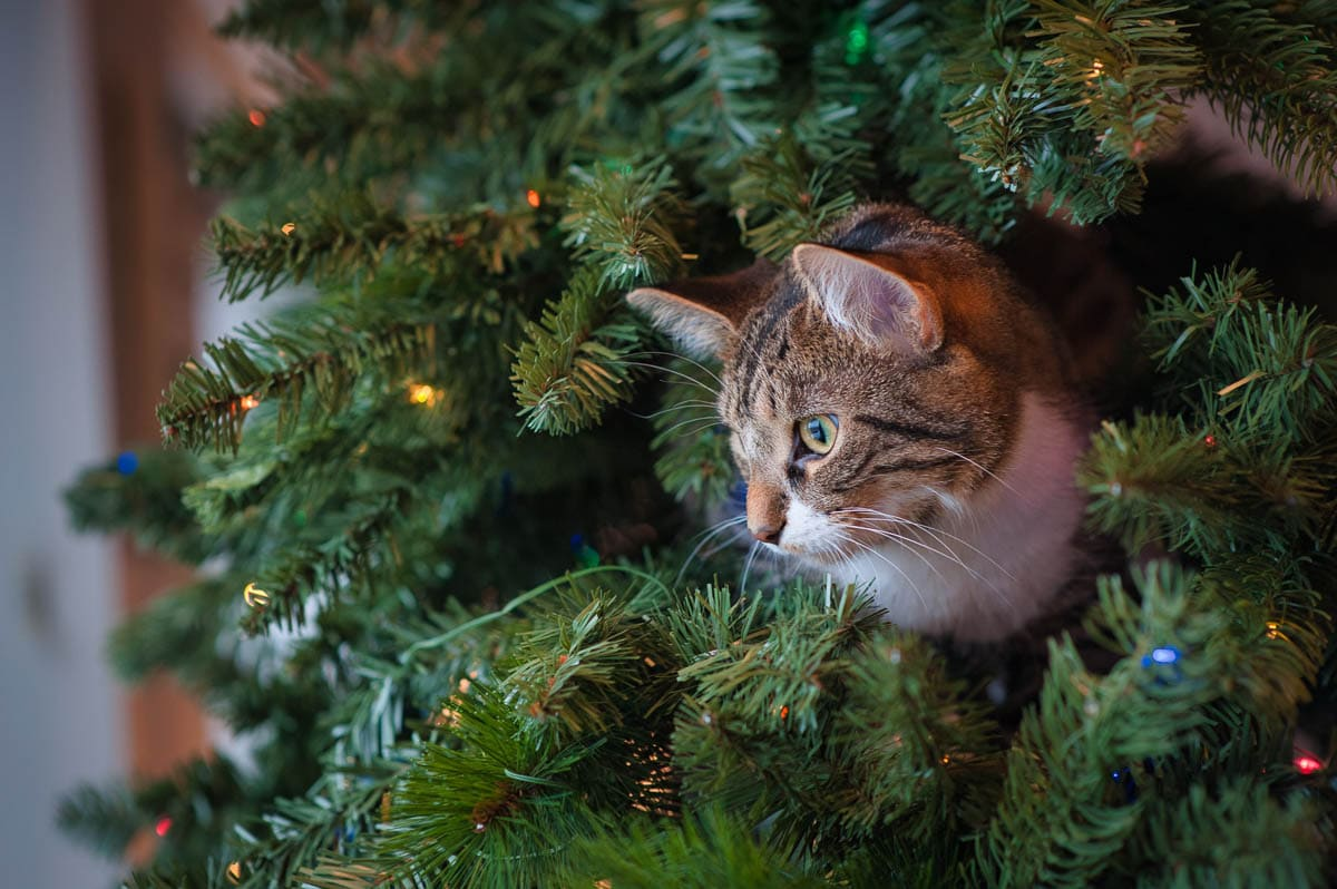 tabby cat in christmas tree