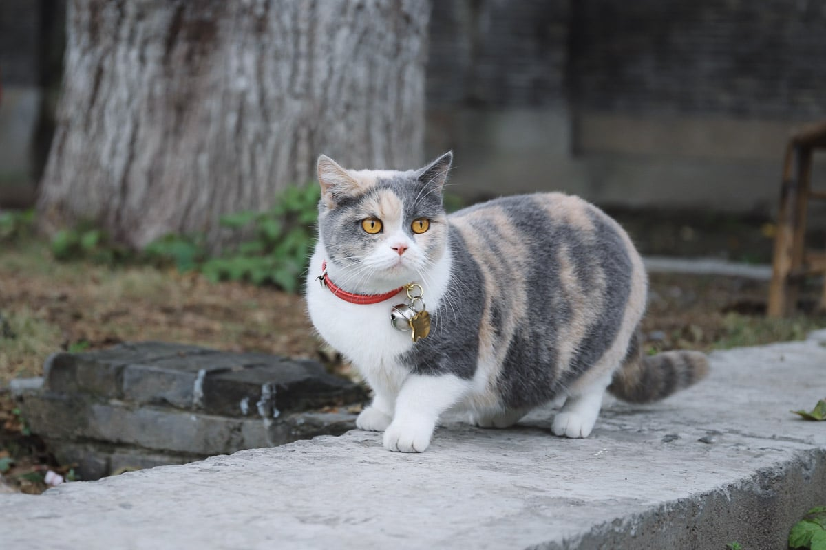 tabby cat on pavement with red collar and bell