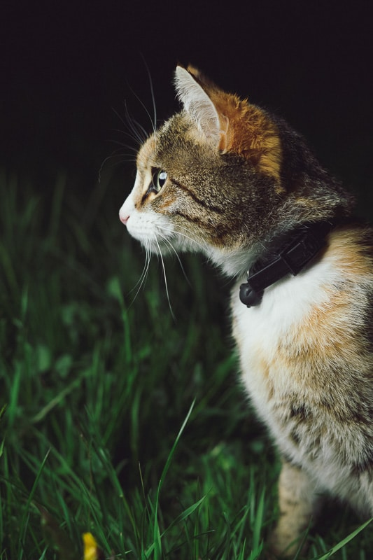 tabby cat with black collar