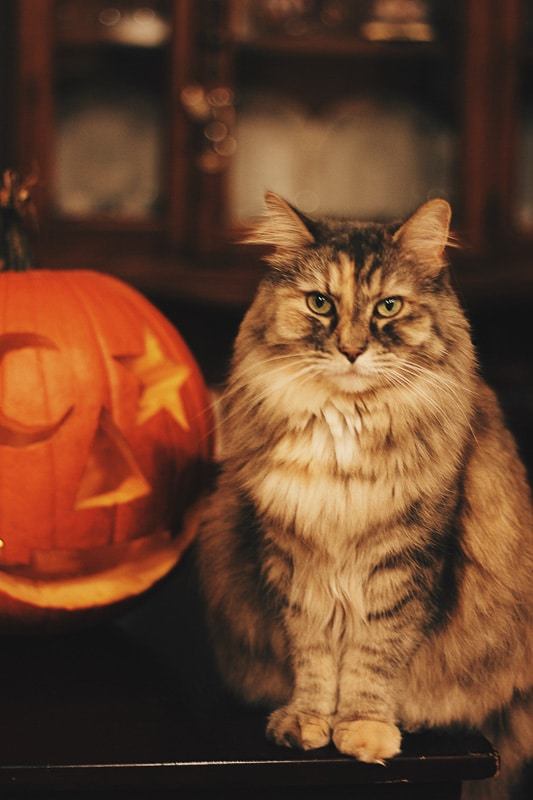 tabby cat with carved pumpkin
