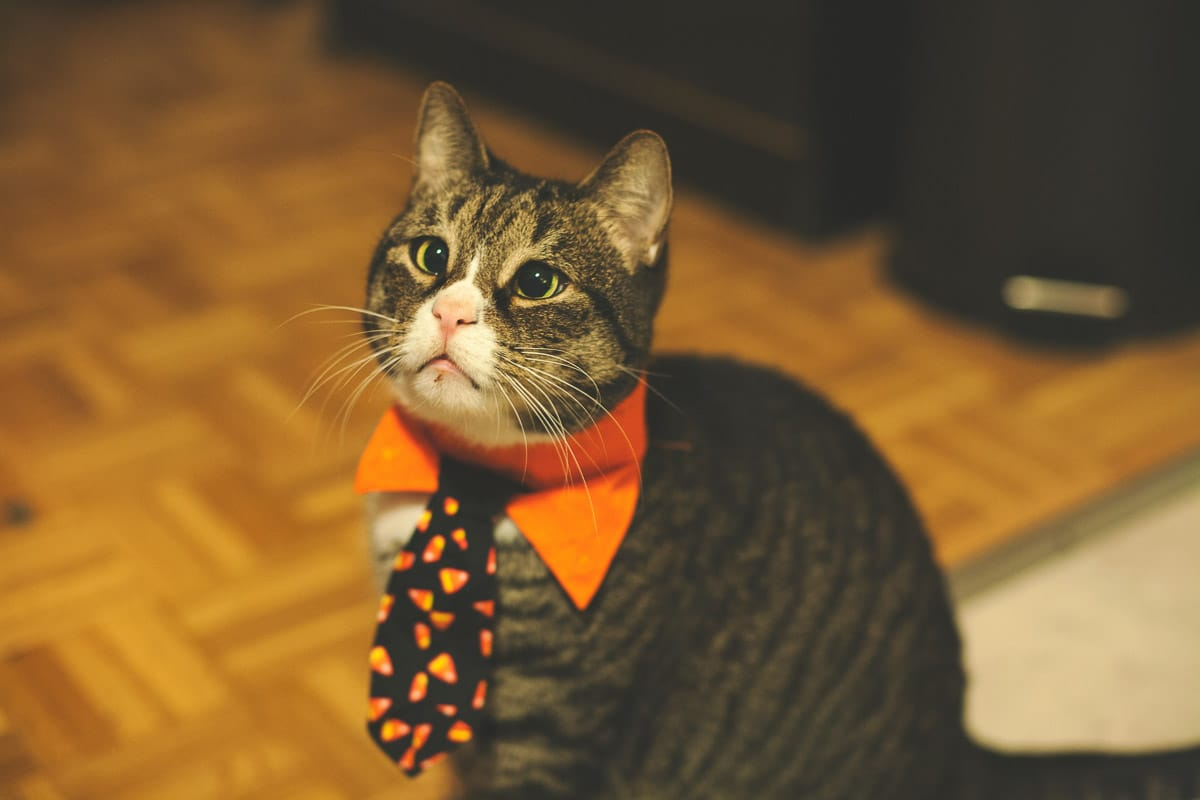 tabby cat with orange bowtie and halloween tie