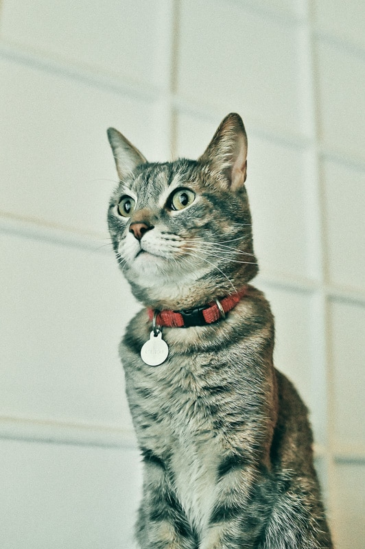 tabby cat with red collar and id tag