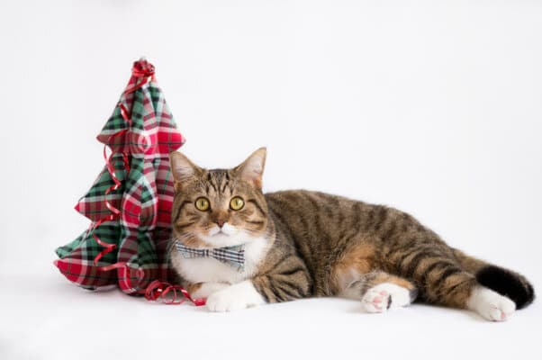 tabby cat with small cloth christmas tree