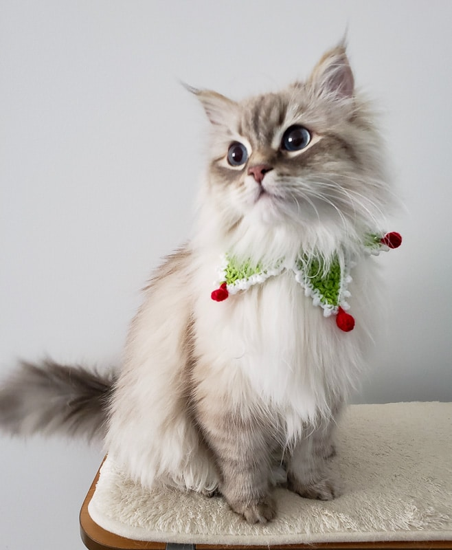white long haired cat with christmas collar