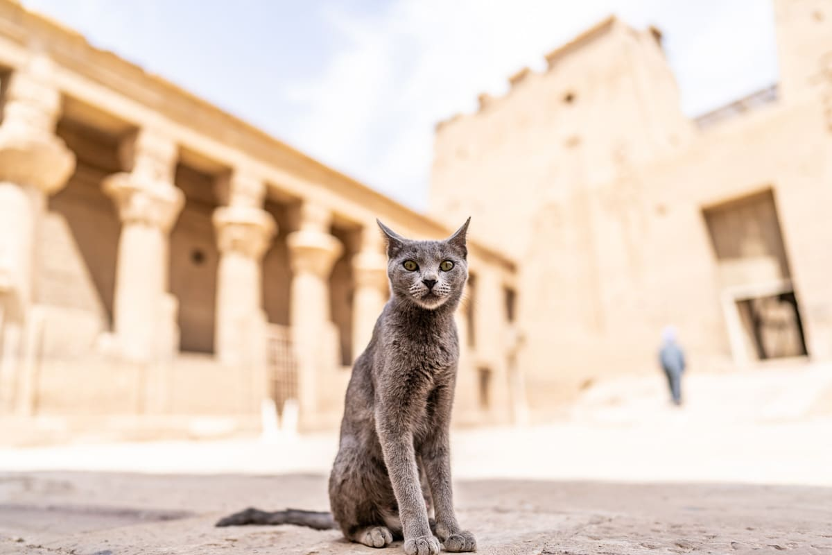 Closeup shot of a grey Egyptian cat perfect for Egyptian Cat Names