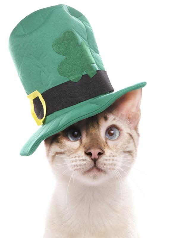 Blue eyed snow marbled bengal cat in green top hat Irish Cat nam