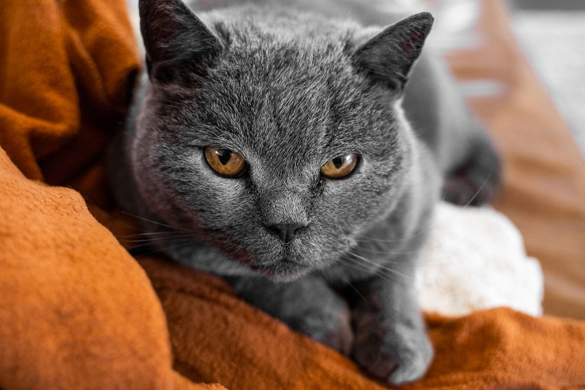 Gray chartreux cat with a yellow eyes on a couch.