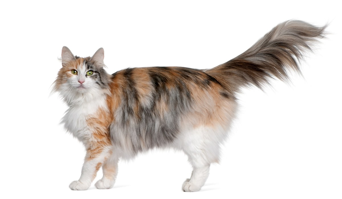 Norwegian Forest Cat, 3 years old, standing in front of white ba