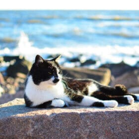 black and white cat lying on rock with sea behind it