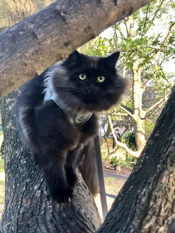 black siberian cat in tree