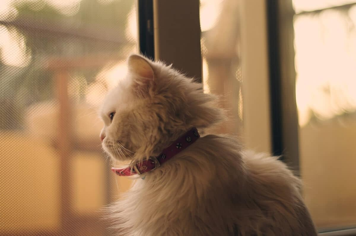 white cat-looking-out-window
