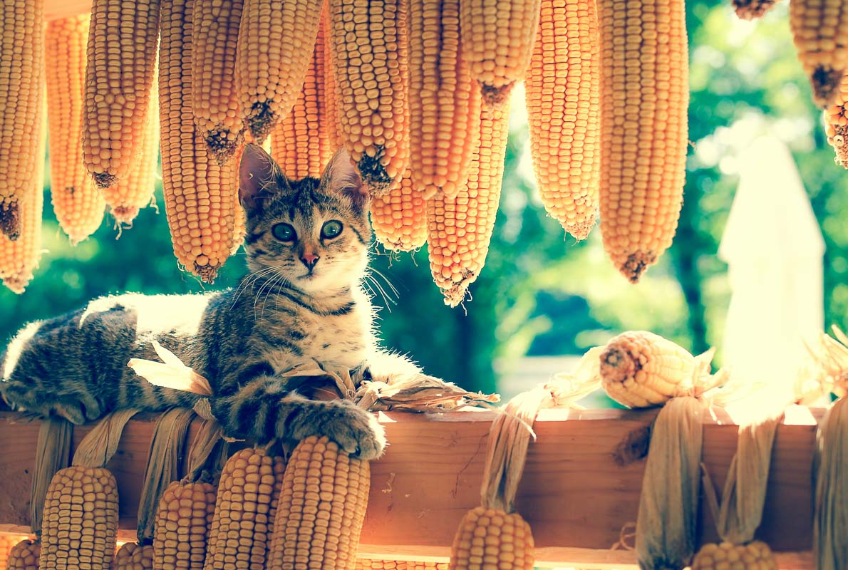 cat with corn cobs for a cat food name