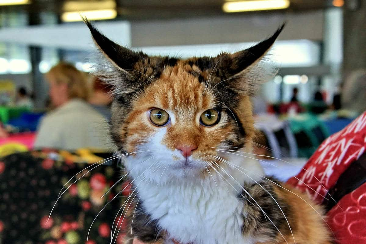 dark ginger maine coon cat stares at camera showing maine coon personality