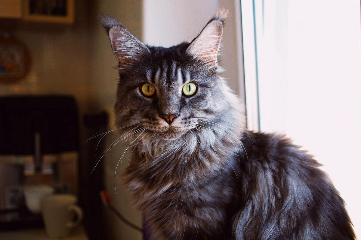 dark-maine-coon cat showing maine coon personality