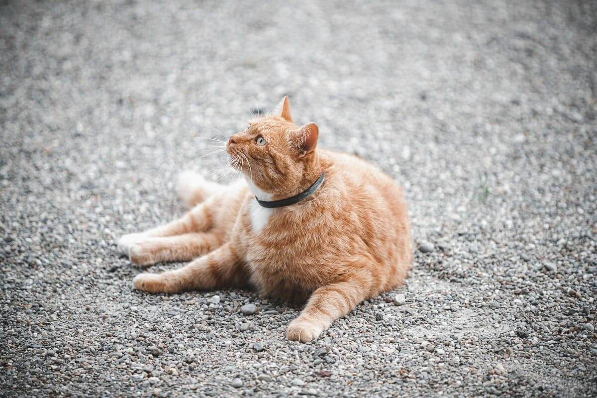 ginger cat-lying-on-pavement