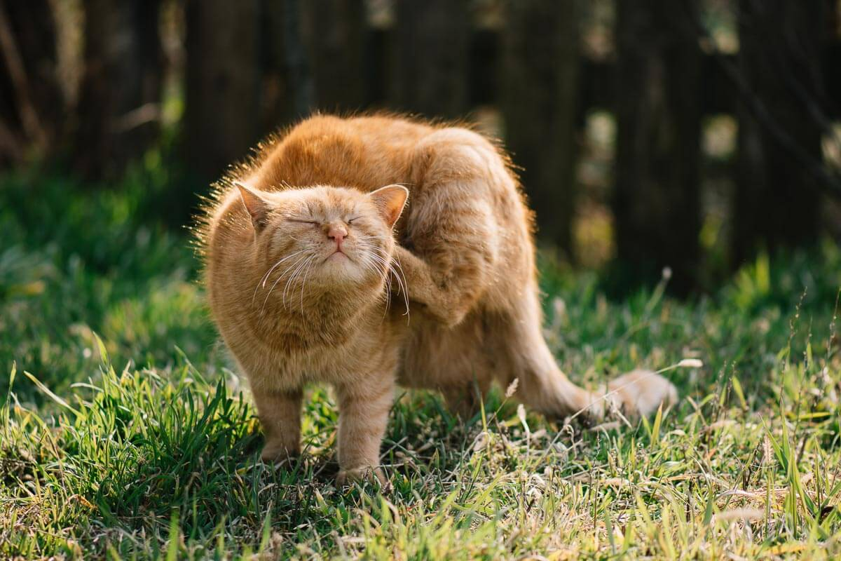 ginger cat scratching itself using its back paw