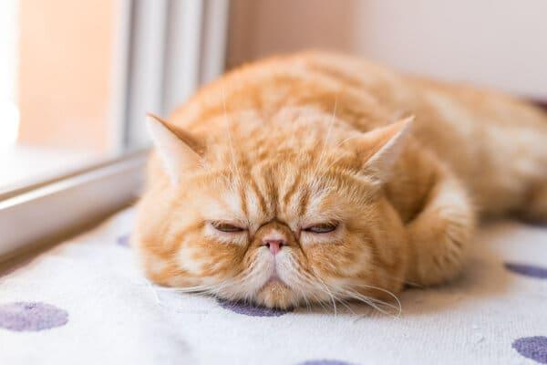 ginger exotic short hair cat