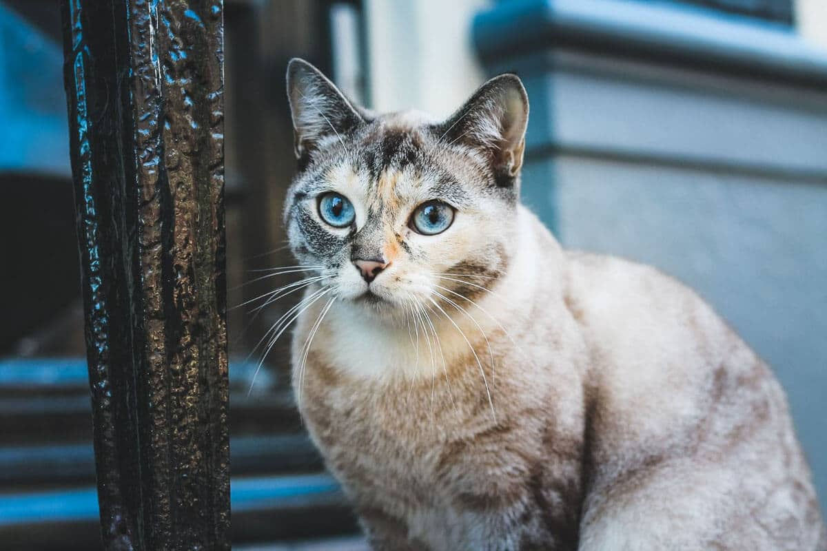 grey and white cat with blue eyes on street