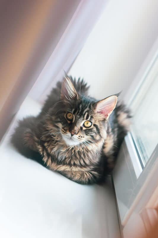 maine coon cat staring at camera from window sill